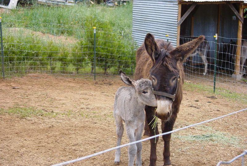 Baby burro 016