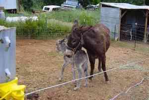 Resized_baby_burro_013