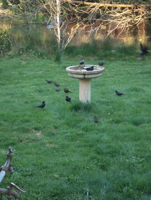Resized_crowdofblackbirds
